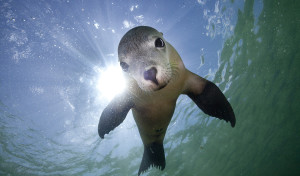 The Australian Sea Lion is threatened but still manages to play