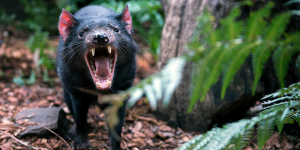 Tassie devils are the much loved marsupial
