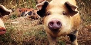 happy pig happy food